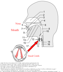 Diagram of the airways to show position of the vocal cords in vocal cord dysfunction